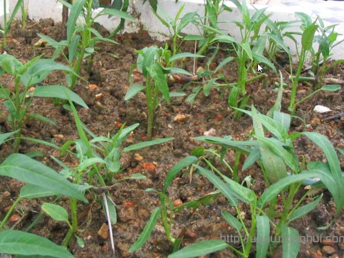 长沙一入夏天就非常炎热,这张空心菜栽活后第五天傍晚时浇水后照的相片,可以看到不少叶子经过一天的暴晒,有不少萎蔫了