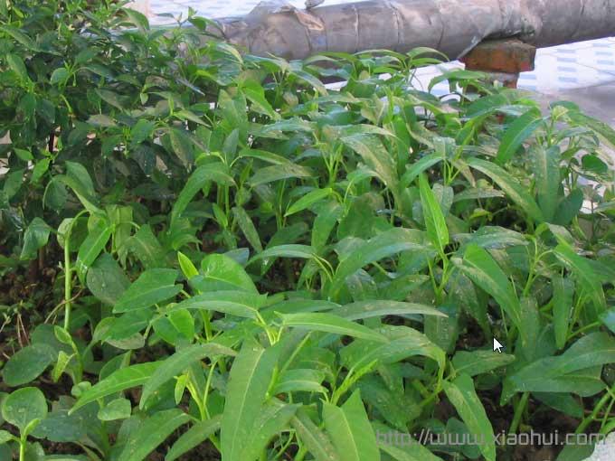 晨光下的空心菜。左边那株是辣椒。辣椒炒空心菜梗,特下饭的菜。