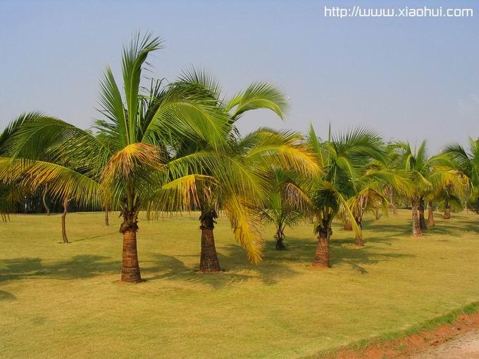 红树林: 洒水车刚浇过的椰树林